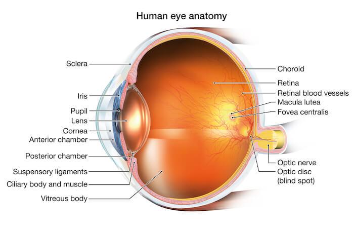 Diagram of human eye anatomy
